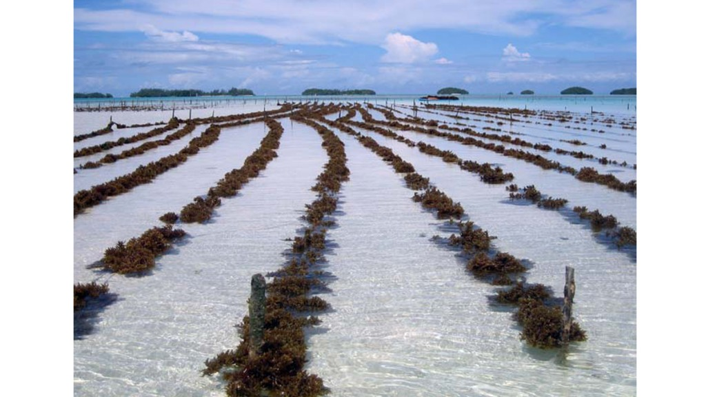 http://www.inspiredcitizen.com/wp-content/uploads/2013/11/Seaweed-farming-72-1024x576.jpg